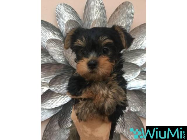 Friendly yorkshire terrier puppies for adoption - 2/3