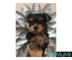 Friendly yorkshire terrier puppies for adoption