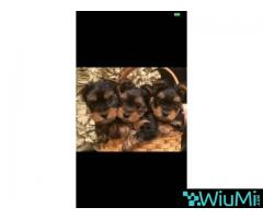 Friendly yorkshire terrier puppies for adoption - Image 3/3